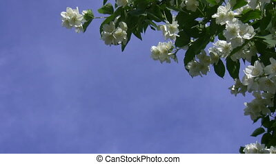 Jasmine flowers against blue sky - White flowers and green...