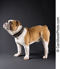 Bulldog portrait - Profile of standing English Bulldog...