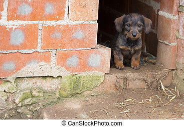 Small brown dachshund - Closeup of baby Dachshund dog at...