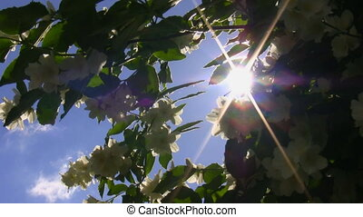Sunbeams and jasmine flowers - Sun glimmering through...