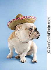 English Bulldog wearing sombrero.