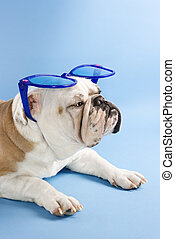 Bulldog with sunglasses.
