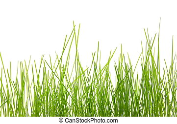 grass - green summer grass isolated on white background