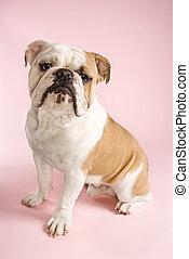 English Bulldog sitting.