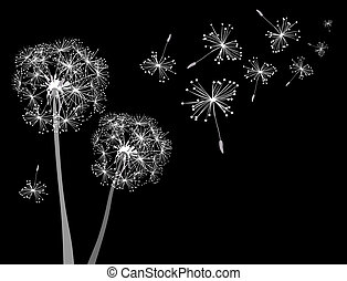 two dandelions in wind on black background