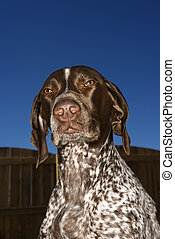 German Shorthaired Pointer dog - German Shorthaired Pointer...