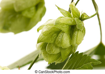 Hop cone and leaves on white background