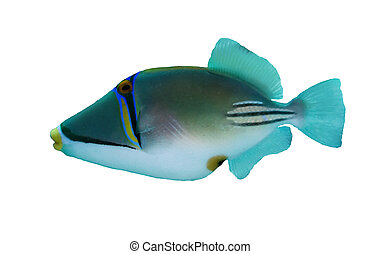 Picasso triggerfish (Rhinecanthus assasi) isolated on white...