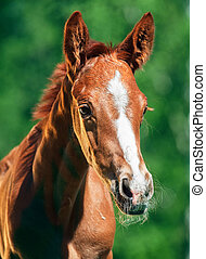 portrait of little chestnut  Trakehner foal