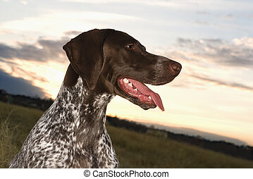 German Shorthaired Pointer dog. - German Shorthaired Pointer...