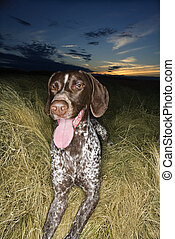 Pointer dog in field - German Shorthaired Pointer with...