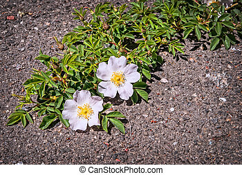 Beautiful flowers growing on crack in old asphalt pavement