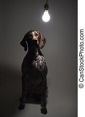 Dog under interrogation - German Shorthaired Pointer with...