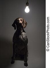 Dog under interrogation. - German Shorthaired Pointer with...