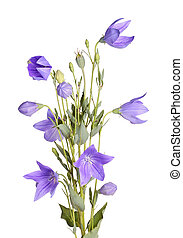 Flowers, buds and leaves of balloon flower on white - Many...