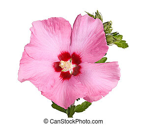 Flower and buds of Rose of Sharon on white - A single purple...