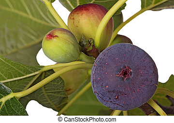 Ripe and unripe figs on a tree - A purple, ripe fig plus two...