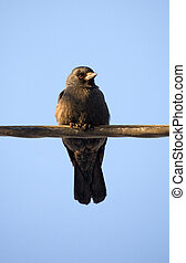 jackdaw sitting on a wire against the sky