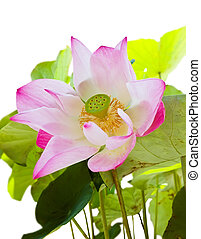 Pink lotus with seed and leaf isolated on white