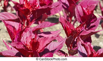 Purple ornamental young plants - Background of purple...