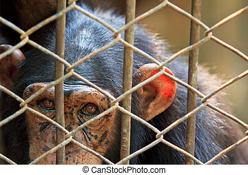 Chimpanzees in captivity.