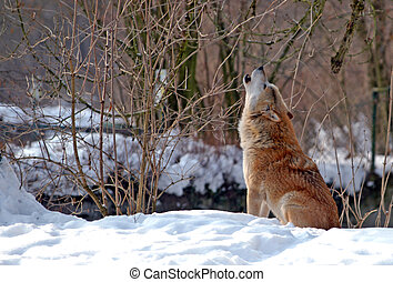 Howling Wolf - howling wolf in winter scenery...