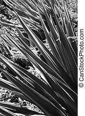 Black and white of yucca plant. - Close-up black and white...