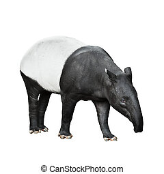 Malayan Tapir isolated on white background - One Malayan...