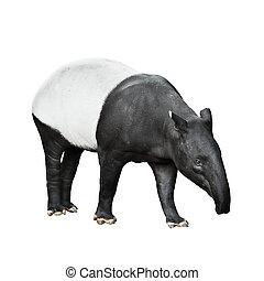 Malayo, tapir, aislado, blanco, Plano de fondo