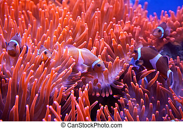 Clown Fish - A red and white clown fish coming out of red...