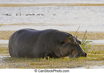 Hippo grazing in water meadow
