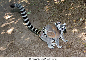 Ring-tailed lemur with young on back.