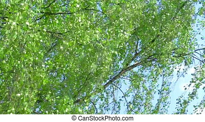 Young branch of birch tree - Branch of birch tree with young...