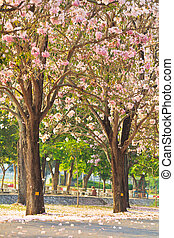 Pink flowers Tabebuia rosea blossom
