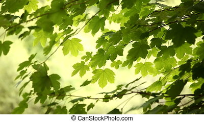 Leaves in breeze