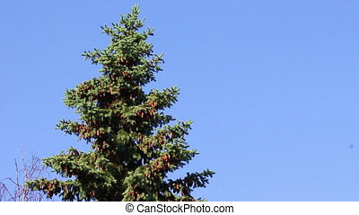 Bird on a green fur-tree with pine cones on blue sky...