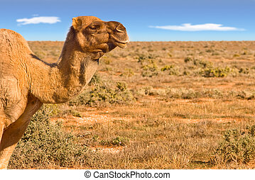 camel looking over desert - great image of a camel looking...