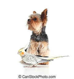 Pets yorkshire terrier dog and cockatiel bird posing...