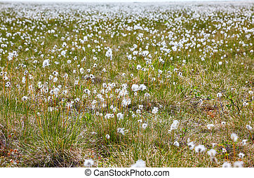 Cotton grass tundra Nizhnekolymsky District of Sakha Yakutia