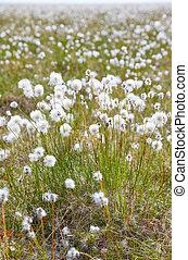 Cotton grass tundra Nizhnekolymsky District of Sakha Yakutia