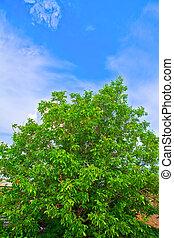 樹, 胡桃