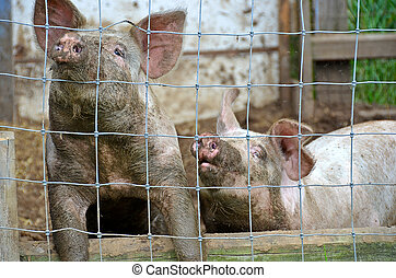 pair of pigs in pigpen - Pair of dirty pigs in pig sty on...