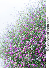 Closeup Gypsophila flower - Closeup many little gypsophila...