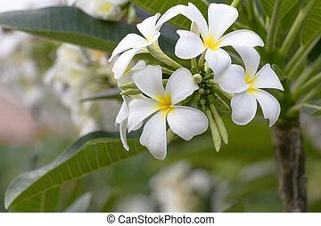 Lan thom flower - Beautiful white flower in thailand, Lan...
