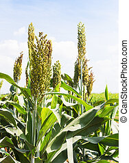 Sorghum field - Sorghum or Millet field with blue sky...
