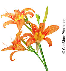 Tiger(striped) lilies on white background. Isolated.