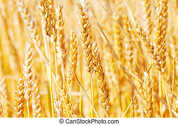 Field of golden rye close-up