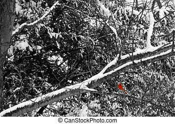 Snow Bird - Bright red cardinal sitting among snowy branches