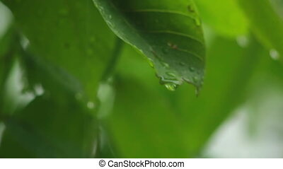 Drops on leaves - raindrops falling on leaves