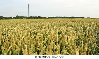 wheat fields  - wheat,barley grain field